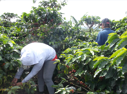 Coffee Pickers in Costa Rica