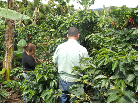 Coffee pickers hard at work.