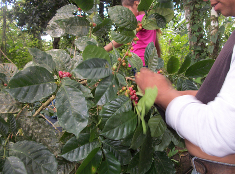 A coffee picker harvesting the last remaining cherries from this plant