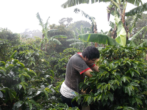 A coffee picker working during a downpour.