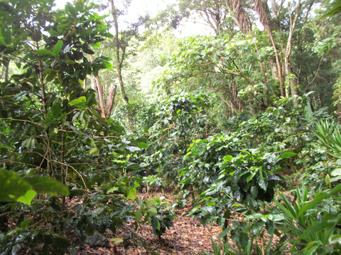 A mix of old and young coffee trees