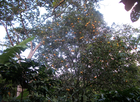 Elba took this picture of an orange tree growing amongst coffee...lending the coffee a fruitier taste.