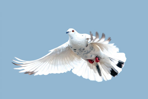 A white dove flying in the sky. The dove is a near universal symbol of peace & nonviolence, echoed in the yogic yama of Ahisma.