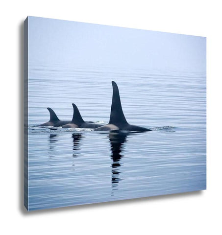 Gallery Wrapped Canvas, Three Killer Whales With Huge Dorsal Fins At Vancouver Island