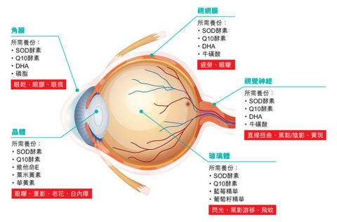 Antioxidant nutrients needed by all parts of the eyes