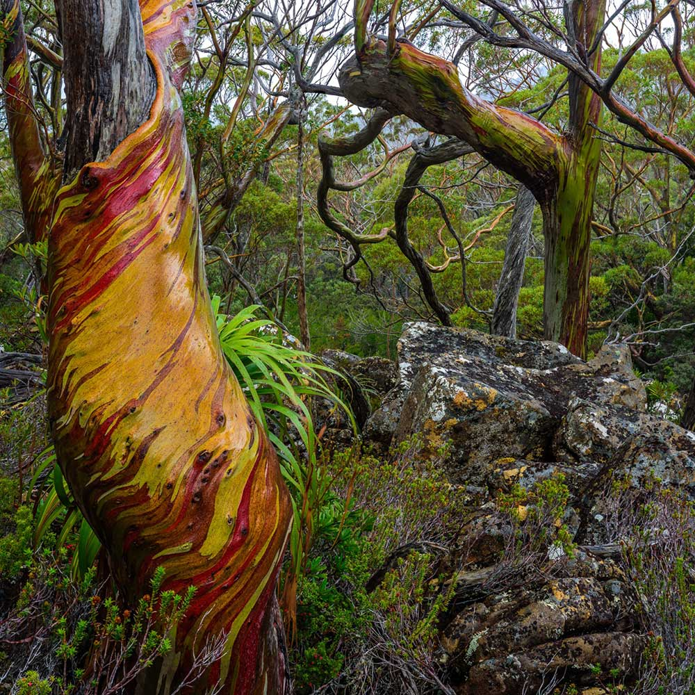 Snowgums in Tasmania by Mont Ambassador Geoff Murray