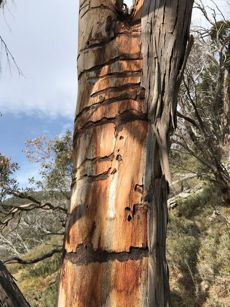Snow gum dieback in the NSW Snowy Mountains