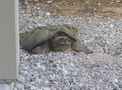Snapping turtle laying eggs in my gravel driveway, Long Point Art Studio, photo copyright of Cindy Presant.
