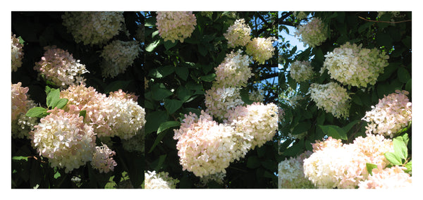 Hydrangeas Triptych - Photograph by Mona Mark