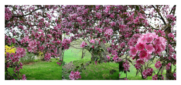 Crabapple Triptych - Photograph by Mona Mark