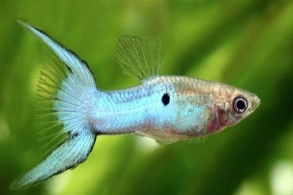 Guppies and Livebearers