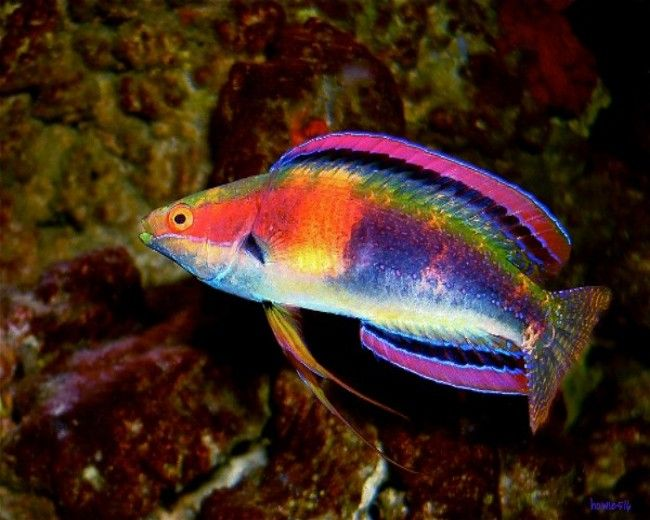 Wrasse, Fancy Rainbow (Tonga)