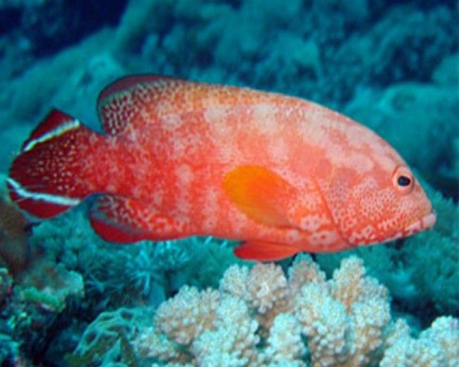 Grouper, V-tail