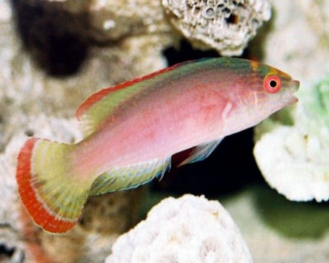 Wrasse, Fairy Margin Red (Male)
