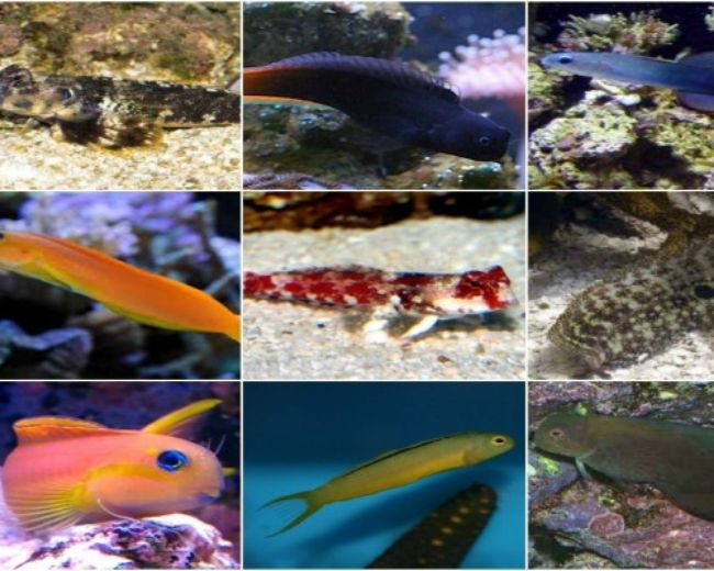 Blenny, Assorted