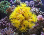 Coral, Tubastrea Yellow