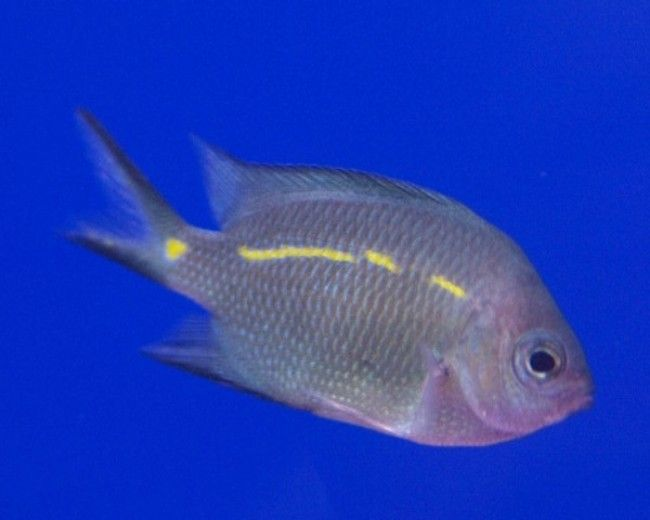 Chromis, Yellow line