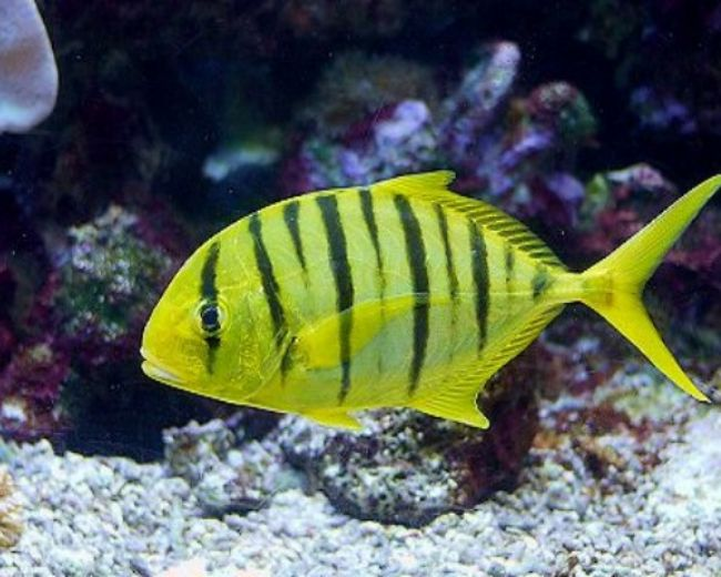Pilotfish, Golden (Trevally)