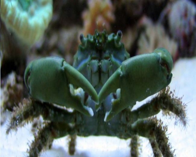 Crab, Green Emerald