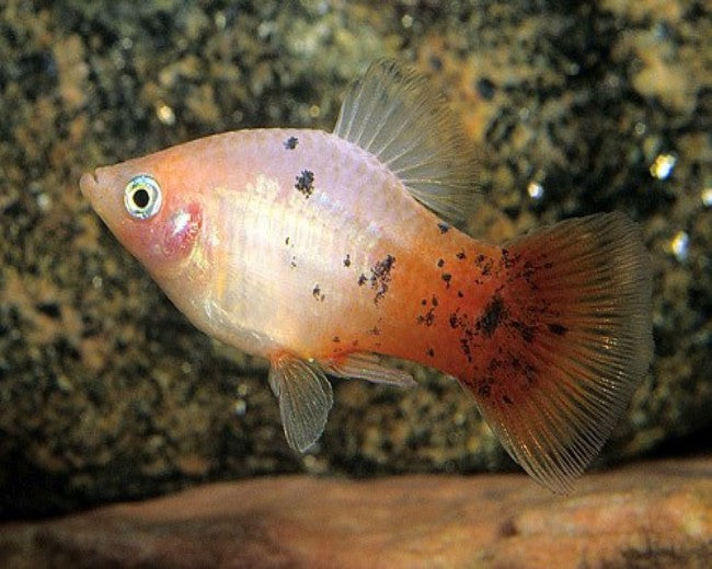 RED TAIL DALMATION PLATY