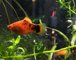 RED PAINTED PLATY