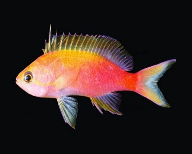 Anthias, Flavicauda (Female)