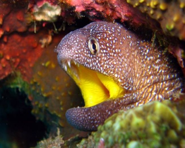 Eel, Moray Yellow Mouth (Rare)