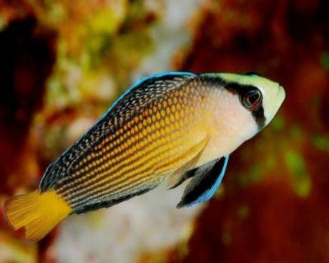 Pseudochromis, Splendid Whitetail