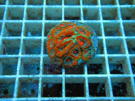 Frag 22, Acan Lord