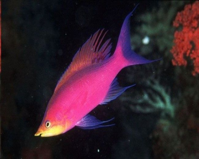 Anthias, Purple Queen