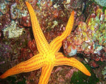 Starfish, Linkia Yellow