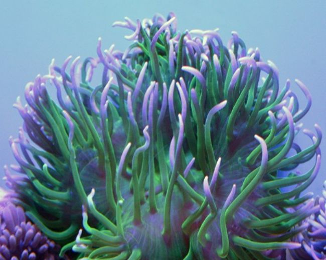 Anemone, Long Tentacle Color