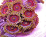 Polyp, Zoanthid Branch Orange