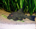 L-191 ROYAL PLECO