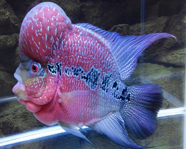 FLOWERHORN - PEARLY BLUE HUMPHEAD