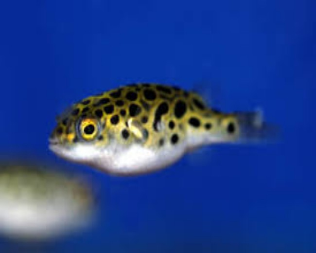 PUFFER - GREEN SPOTTED