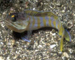 Goby, Jawfish Goldspot
