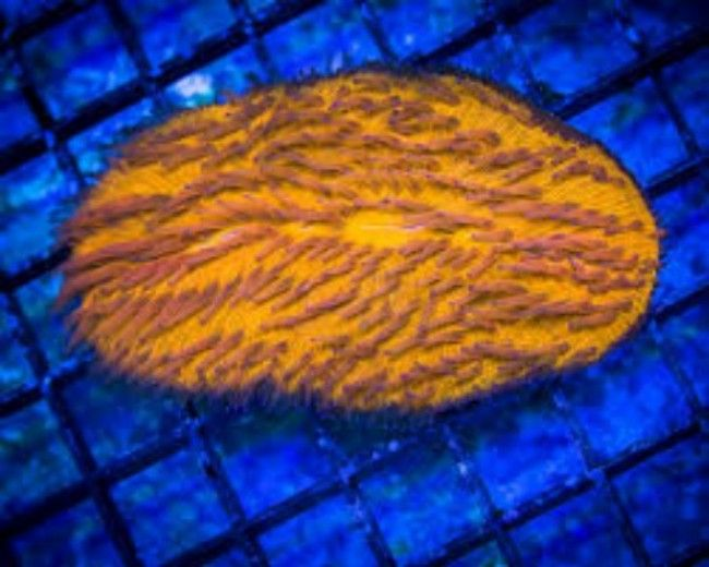 Coral, Tongue Orange
