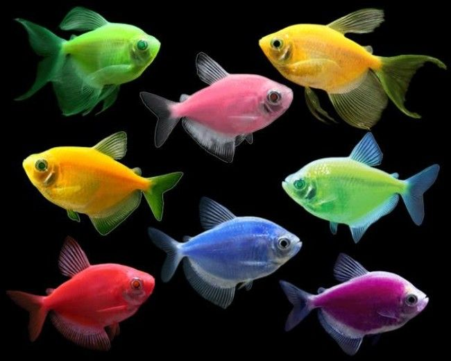 ASSORTED COLOR GLO TETRA