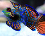 Goby, Mandarin Green-Blue
