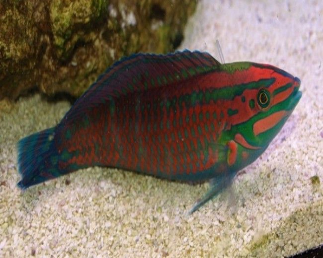 Wrasse, X-Mas (Ornate)