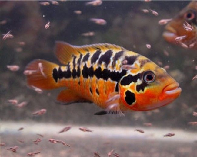 RED TIGER MOTAGUENSE