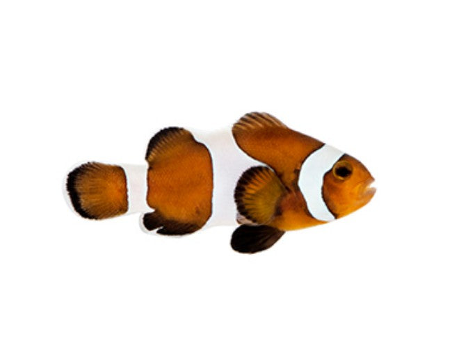 Tank Raised Clown, Ocellaris Caramel