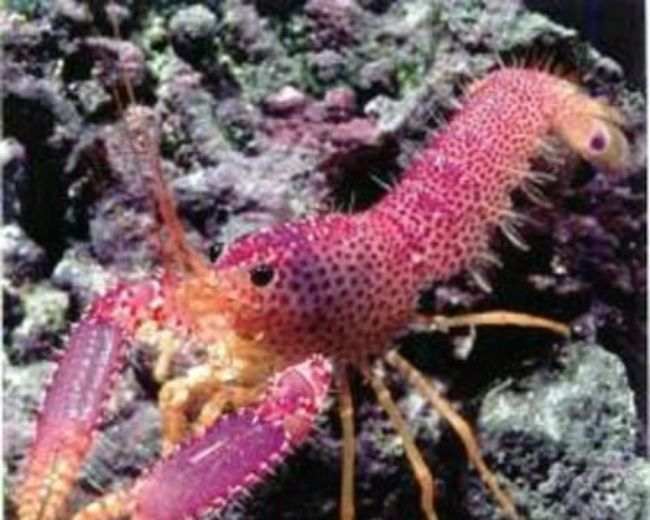Lobster, Purple (Debelius)