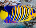 Angel, Regal Yellow Belly (Red Sea)