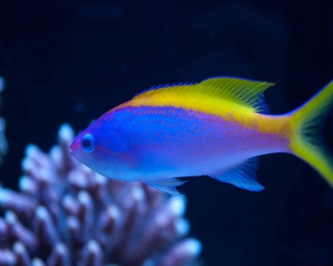 Anthias, Evansi (Male)