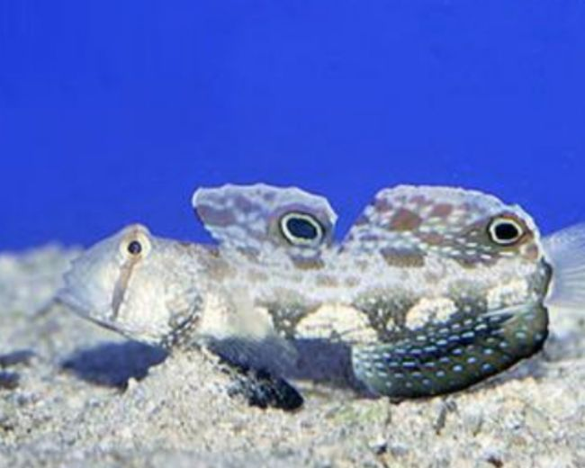 Goby, Twinspot Signal