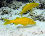 Goatfish, Yellow