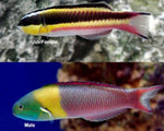 Wrasse, Thalassoma Paddle-fin (Female)