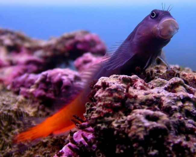 Blenny, Bicolor-Male (Sri Lanka)